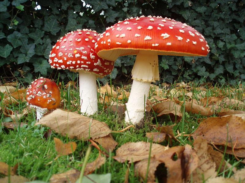 Muchomůrka červená / zdroj: Wikipedia, Onderwijsgek