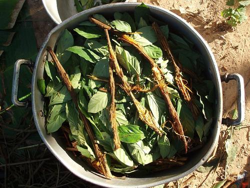 Vaření ayahuascy